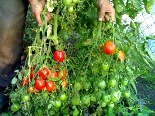 Семена почтой томат Ред Алерт - 20 семян, до 100 г, с кончиком, огромные кисти, очень многоплодный, высотой 1 м