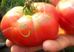 Семена томатов Розовый сахарный - 1 уп.-20 семян, выведен в Чехии - среднерослый, ранний, розовый, сладкий, 300 г. Семенаград - семена почтой