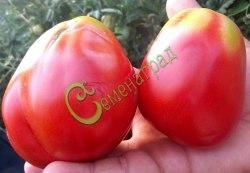 Семена томатов Русалка - 1 уп.-20 семян, выведен в Италии - среднерослый, грушевидно-сердцевидный, розовый, сладкий, 200 г, объедение. Семенаград - семена почтой