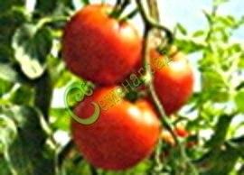Семена томатов Русич плюс, 1 уп.-20 семян - высокорослый, 3-4 м, до 100 г, популярный, с огромной энергией роста и урожайностью. Семенаград - семена почтой