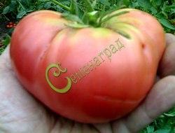 Семена томатов Сахарный бизон - 1 уп.-20 семян - высокорослый, малиновый, до 300 г, урожайный, хорош. Семенаград - семена почтой