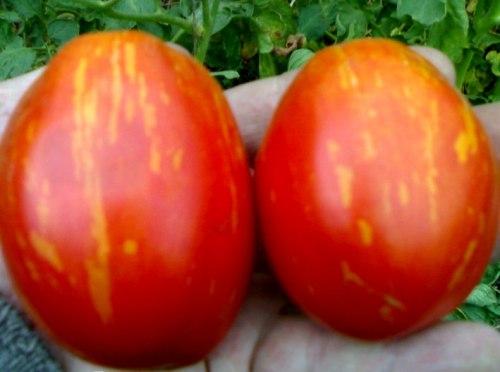 Семена томатов Северное сияние - 20 семян - высокорослый, овальный, как яблоко с полосатым румянцем, 150 г