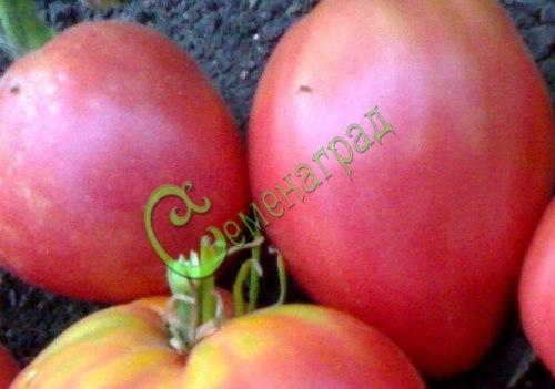 Семена томатов Сердце буйвола - 1 уп.-20 семян - высокорослый, до 500 г, розовый, проверенный годами. Семенаград - семена почтой