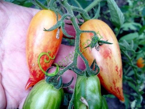 Семена томатов Сладкий крем - 1 уп.-20 семян, выведен в США - высокорослый, перцевидный, золотистый с красными полосками и штрихами, сладкий с карамельным привкусом, до 90 г. Семенаград - семена почтой