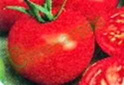 Семена томатов Брекодей, 1 уп.-20 семян - низкорослый, до 150 г, ранний, хорош, классика. Семенаград - семена почтой