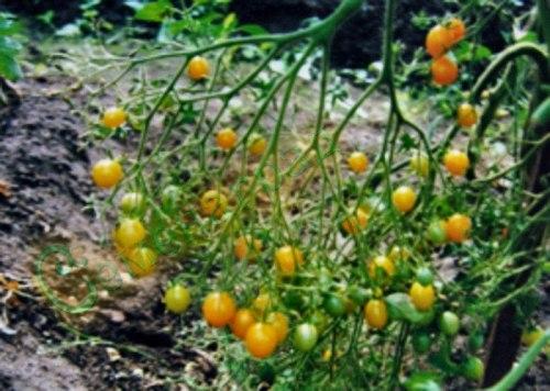 Семена томатов Вагнер Мирабель (20 семян - высокорослый, среднеранний, чудо кисти, 10 г, желтый)
