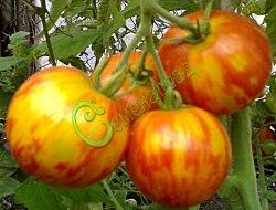 Семена томатов Тигровые - 1 уп.-20 семян - высокорослый, до 100 г, полосатый, разноцветный, оригинальный. Семенаград - семена почтой