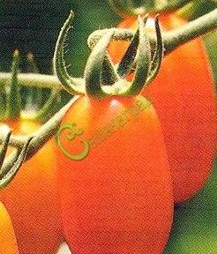 Семена почтой томат Тюльпан оранжевый - 20 семян - высокорослый, до 120 г, в форме бутона, обильный, сладкий