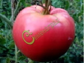 Семена томатов Уральский богатырь - 20 семян - высокорослый, сердцевидный, розовый, до 700 г