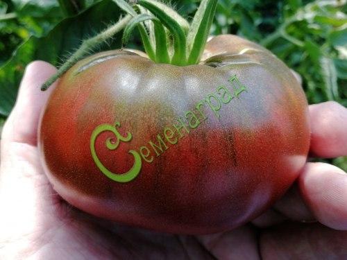 Семена томатов Черный из Тулы - 20 семян - высокорослый, до 400 г, сладкий, красивые фиолетово-черные плоды для салатов