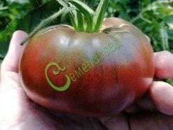Семена томатов Черный из Тулы - 1 уп.-20 семян, выведен во Франции - высокорослый, до 400 г, очень продуктивный сорт, сладкий, красивые фиолетово-черные плоды для салатов. Семенаград - семена почтой