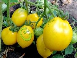 Семена томатов Чилийский лимон - 1 уп.-20 семян - высокорослый, до 100 г, желтый, овальный с кончиком, очень урожайный, сложные кисти. Семенаград - семена почтой