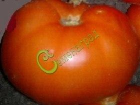 Семена томатов Шахтерская слава, 1 уп.-20 семян - до 250 г, высота 1 м, среднеранний, плотный, высокотоварный. Семенаград - семена почтой