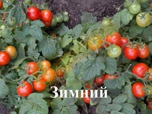 Семена томатов Зимний (20 семян - томат в миниатюре, сажается под зиму на подоконнике)