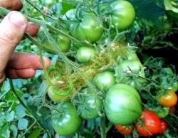 Семена томатов Юбилейный Тарасенко - 1 уп.-20 семян - высокорослый, до 200 г, с носиком, с огромными кистями. Семенаград - семена почтой