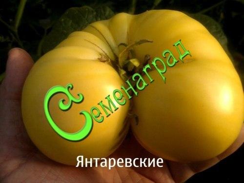 Семена почтой томат Янтаревские - 20 семян - высокорослый, до 1 кг, малосемянный, сладкий