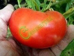 Семена томатов Японское солнце, 1 уп.-20 семян - высокорослый, до 300 г, круглоплоский, урожайный, красивый. Семенаград - семена почтой