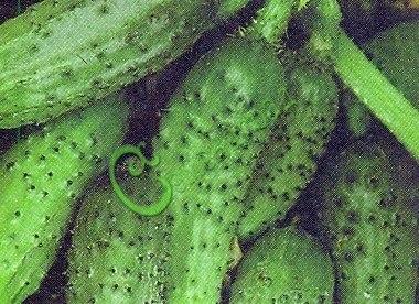 Семена огурцов Микрон - 10 семян - ранний, очень урожайный, маленькие зеленцы с пупырышками созданы для консервирования