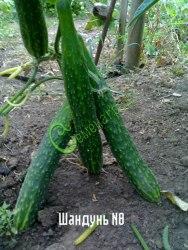 Семена огурцов Шандунь № 8, выведен в Китае - ранний сорт, плоды длинные, с пупырышками, а консервируется кусочками. Семенаград - семена почтой
