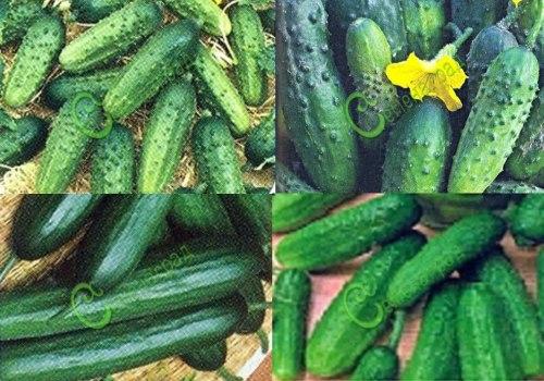 Семена огурцов - смесь сортов