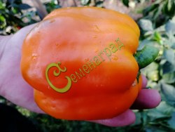 Семена сладкого перца Голландский оранжевый - 1 уп.-10 семян - цилиндрический, крупный. Семенаград - семена почтой