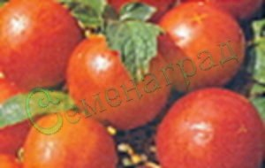 Семена томатов Красная шапочка (20 семян - компактный, очень ранний, до 40 г)