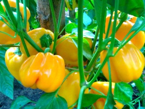 Семена сладкого перца Золотой телец - 10 семян - цилиндрический, жёлтый, крупный, очень ранний