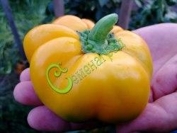 Семена сладкого перца Израильский желтый, 1 уп.-10 семян - круглый, крупный. Семенаград - семена почтой