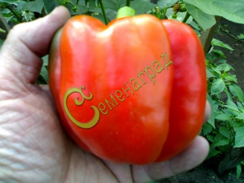 Семена сладкого перца Калифорнийское чудо - 10 семян - цилиндрический, крупный, красный