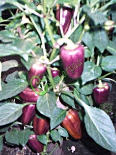Семена сладкого перца Негро - 10 семян - конический, фиолетовый, ранний, крупный