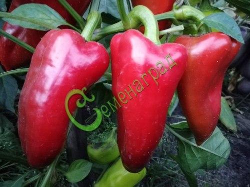Семена сладкого перца Подарок Молдовы - 10 семян - конический, красный, крупный