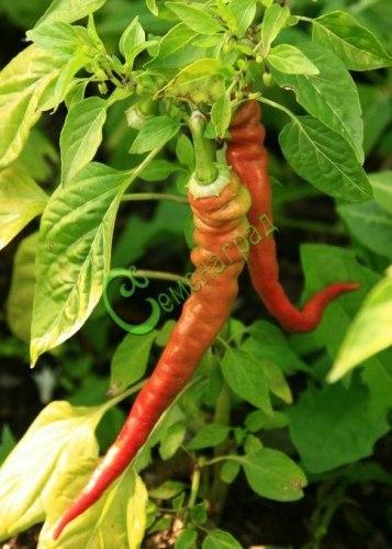 Семена сладкого перца Сладкий хобот - 10 семян - сладкий вариант Слонового хобота