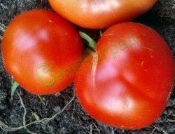 Семена томатов Молдавский ранний, 1 уп.-20 семян - урожайный, до 130 г, низкорослый. Семенаград - семена почтой