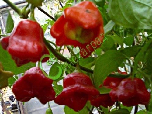 Семена острого перца Колокольчик, 1 уп.-10 семян - красавцы-колокольчики, во множестве, необычная красота. Семенаград - семена почтой
