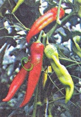 Семена острого перца Украинский оранжевый - 10 семян - оранжевый, крупный, удлинённый (до 20 см)