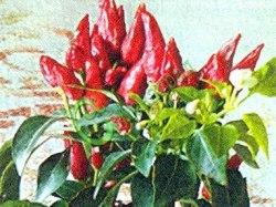 Семена острого перца Чили - 1 уп.-10 семян - плоды мелкие, очень острые. Семенаград - семена почтой