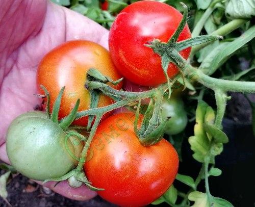Семена томатов Пендулина Ред (20 семян - томат в миниатюре, низкорослый, ранний, продуктивный, можно выращивать как в грунте, так и на подоконнике)