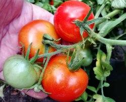 Семена томатов Пендулина Ред, 1 пор.-20 семян, выведен в Германии - томат в миниатюре, низкорослый, ранний, продуктивный, можно выращивать как в грунте, так и на подоконнике, экзотика. Семенаград - семена почтой