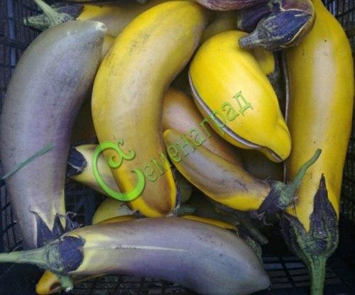 Семена баклажана Сто лет - 1 уп.-10 семян - цилиндрический, фиолетовый, удлинённый, до 50 см, экзотичный. Семенаград - семена почтой