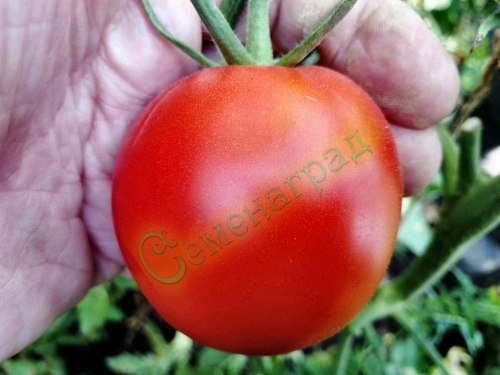 Семена томатов Перуанский (20 семян - среднерослый, 120 см, очень ранний, 90-120 г)