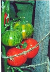 Семена баклажана Японский красный, 1 уп.-10 семян - необыкновенный вид, достижение японской селекции. Семенаград - семена почтой