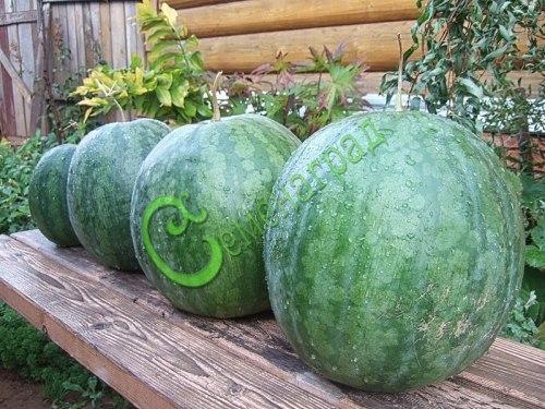 """Семена арбуза """"Долгохранящийся"""", 4 семени, с золотистой мякотью, может храниться 2 года, преимущественно кормового направления"""