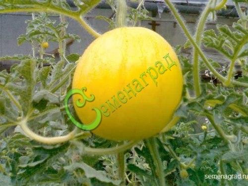 Семена арбуза «Подарок солнца» - 4 семени - сверхранний, некрупный, ярко-жёлтый арбузик