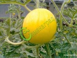 Семена арбуза Арбуз «Подарок солнца», 1 уп.-4 семени - сверхранний, некрупный, ярко-жёлтый арбузик. Семенаград - семена почтой