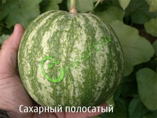 """Семена арбуза """"Сахарный полосатый"""" - 4 семени - очень ранний некрупный северный сорт"""