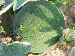 Семена арбуза Арбуз «Сибиряк», 1 уп.-4 семени - некрупные, сверхранние арбузы для северного огорода. Семенаград - семена почтой