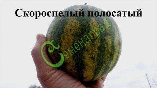 Семена арбуза Арбуз «Скороспелый полосатый» - 1 уп.-4 семени - очень ранний, 3-4 кг, новый сорт. Семенаград - семена почтой