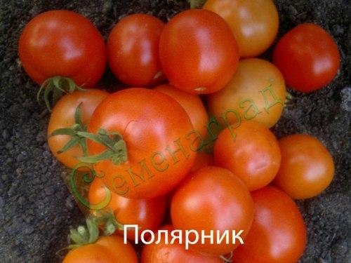 Семена томатов Полярник (20 семян - низкорослый, ранний, 100 г)