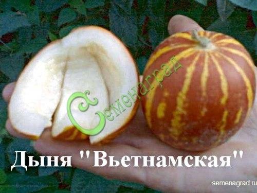 Семена дыни Дыня «Вьетнамская» - 1 уп.-4 семени - миниатюрная (100-200 г), с сильнейшим ароматом и вкусом лучших туркменских дынь, эдакие светящиеся оранжевые фонарики в полоску, урожайнейшая. Семенаград - семена почтой