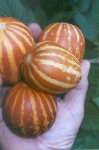 Семена дыни Дыня «Мечта сибарита» - 1 уп.-4 семени, выведена в Китае - миниатюрная (200-400 г), сверхскороспелая, очень сладкая, хрустящая как яблоко, с зелёными полосками, можно есть вместе с кожурой, урожайнейшая. Семенаград - семена почтой